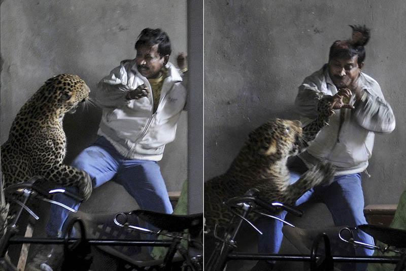 Леопард скальпировал горожанина вИндии