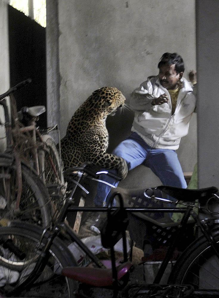 01 Леопард скальпировал горожанина в Индии