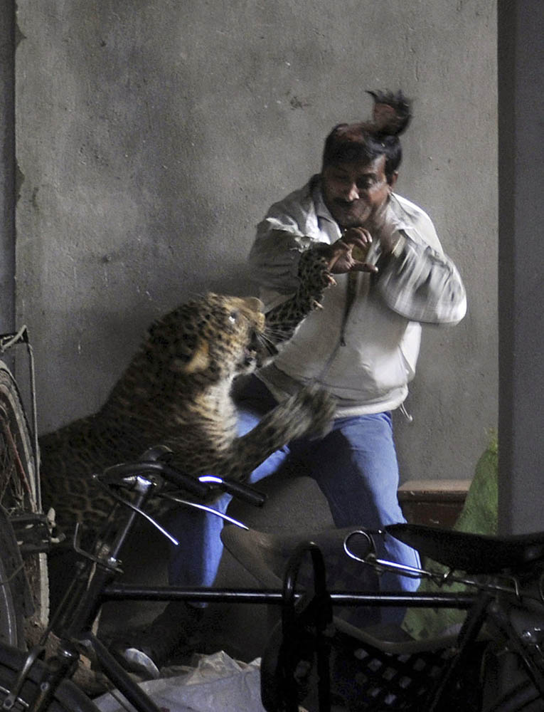02 Леопард скальпировал горожанина в Индии