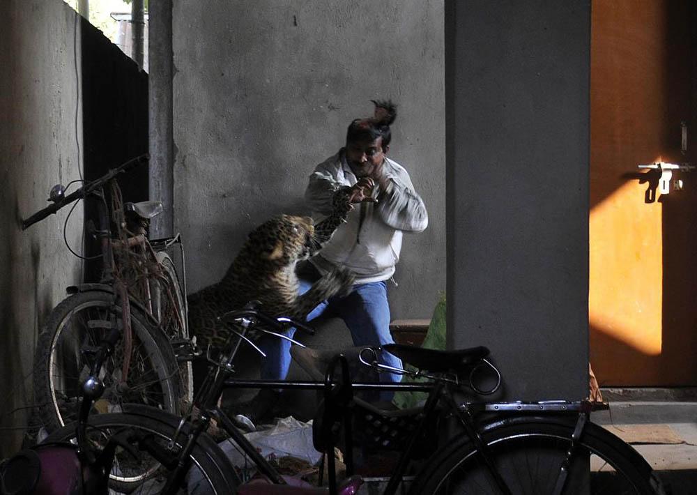 03 Леопард скальпировал горожанина в Индии