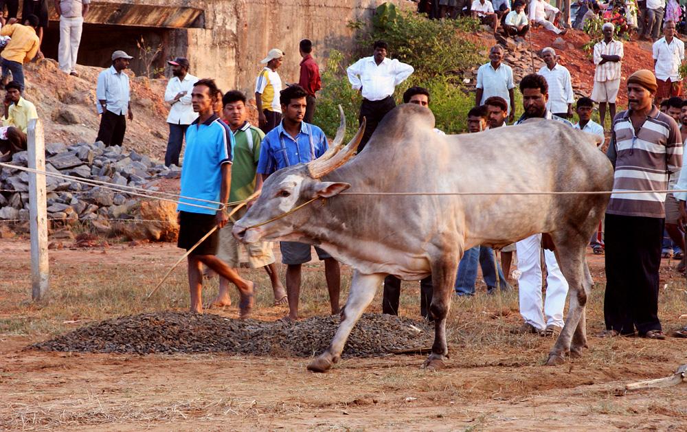 0613 Бои быков в Индии