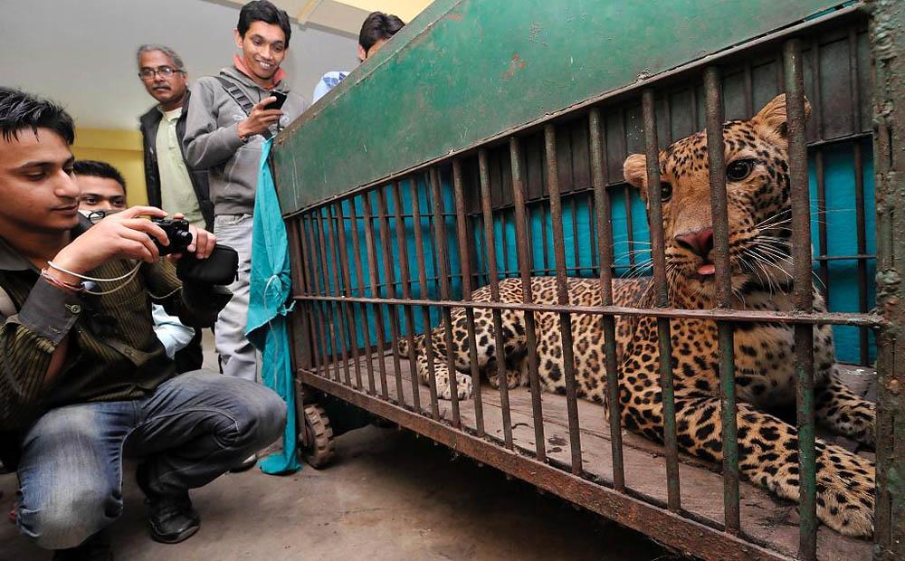 07 Леопард скальпировал горожанина в Индии