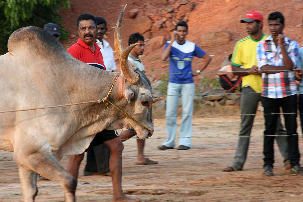 0712 Бои быков в Индии
