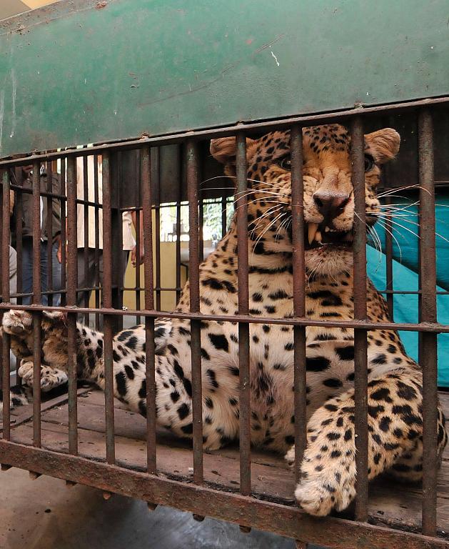 08 Леопард скальпировал горожанина в Индии