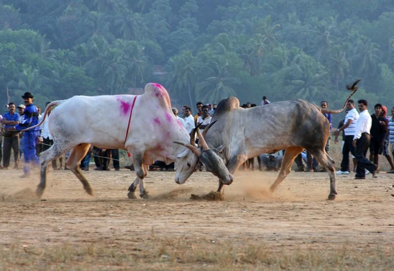 Бои быков вИндии