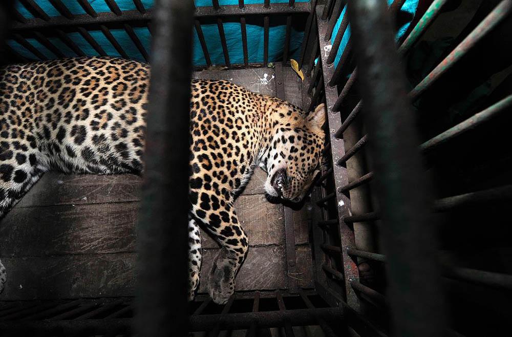 09 Леопард скальпировал горожанина в Индии
