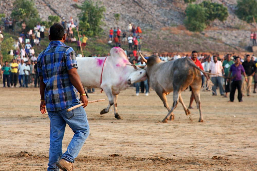 0912 Бои быков в Индии