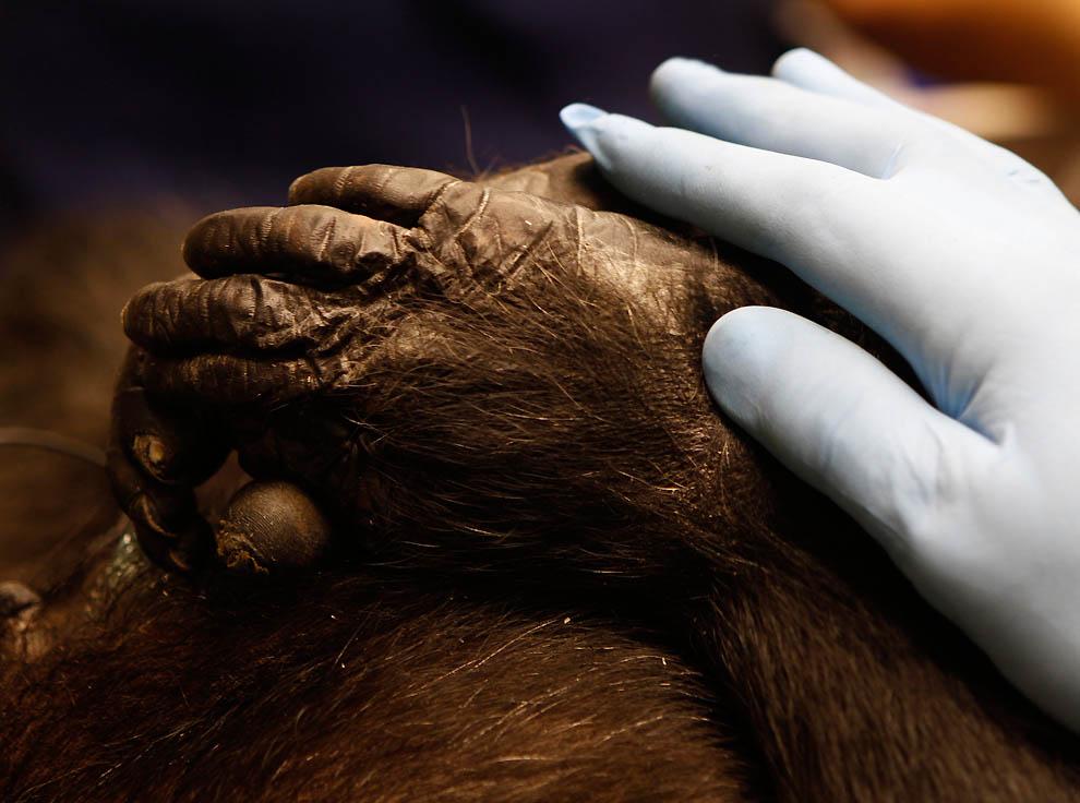 10117 73 летней самке шимпанзе провели операцию