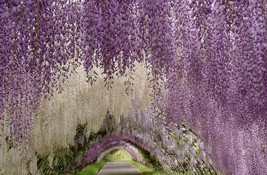 1080 «Виноградные» гроздья глицинии