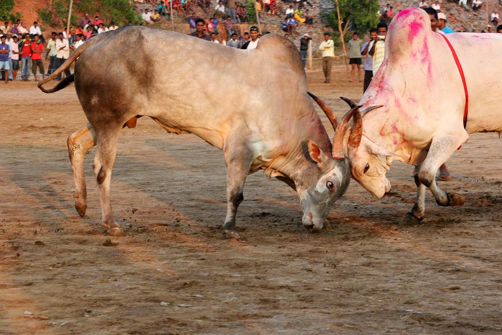 1093 Бои быков в Индии