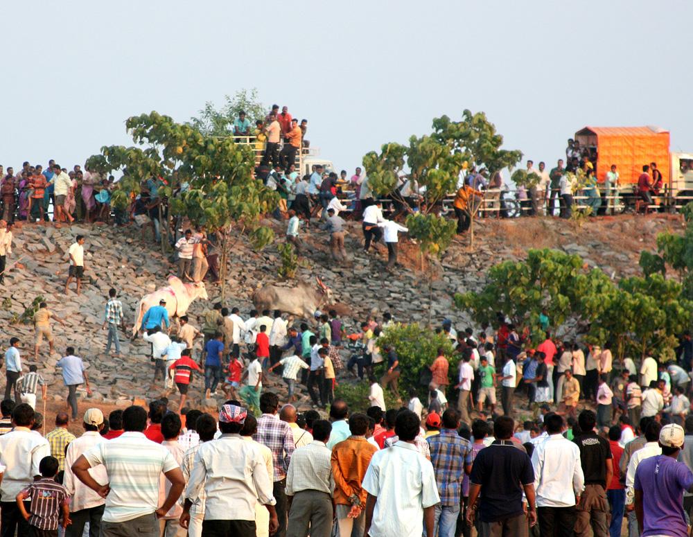 11121 Бои быков в Индии