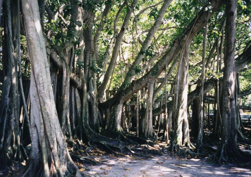 11127 Баньян   национальное дерево Индии