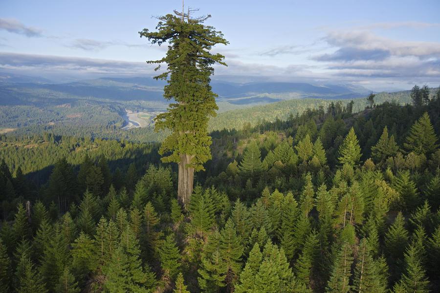 Топ-10 самых высоких деревьев в России