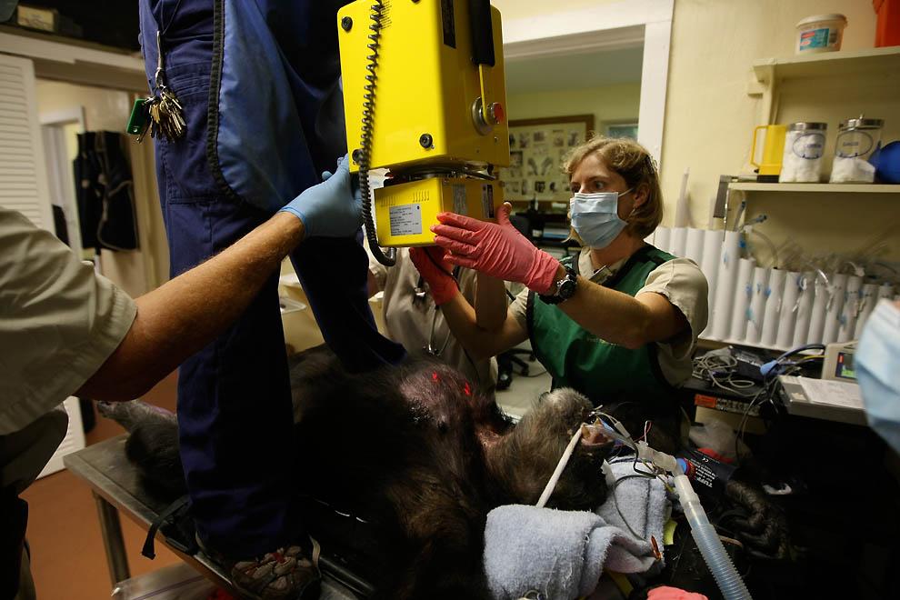 13100 73 летней самке шимпанзе провели операцию