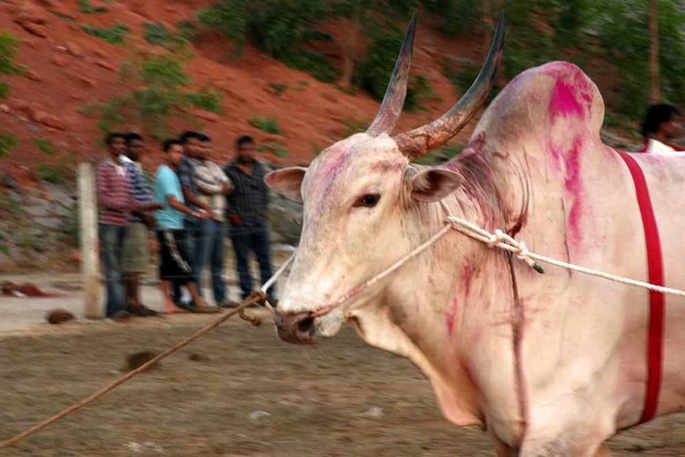 1374 Бои быков в Индии