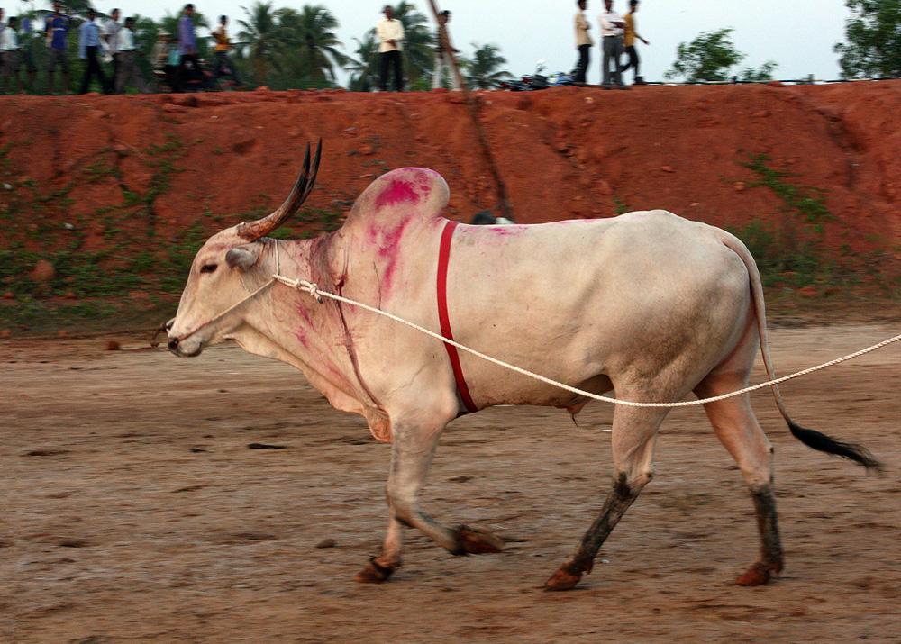 1471 Бои быков в Индии