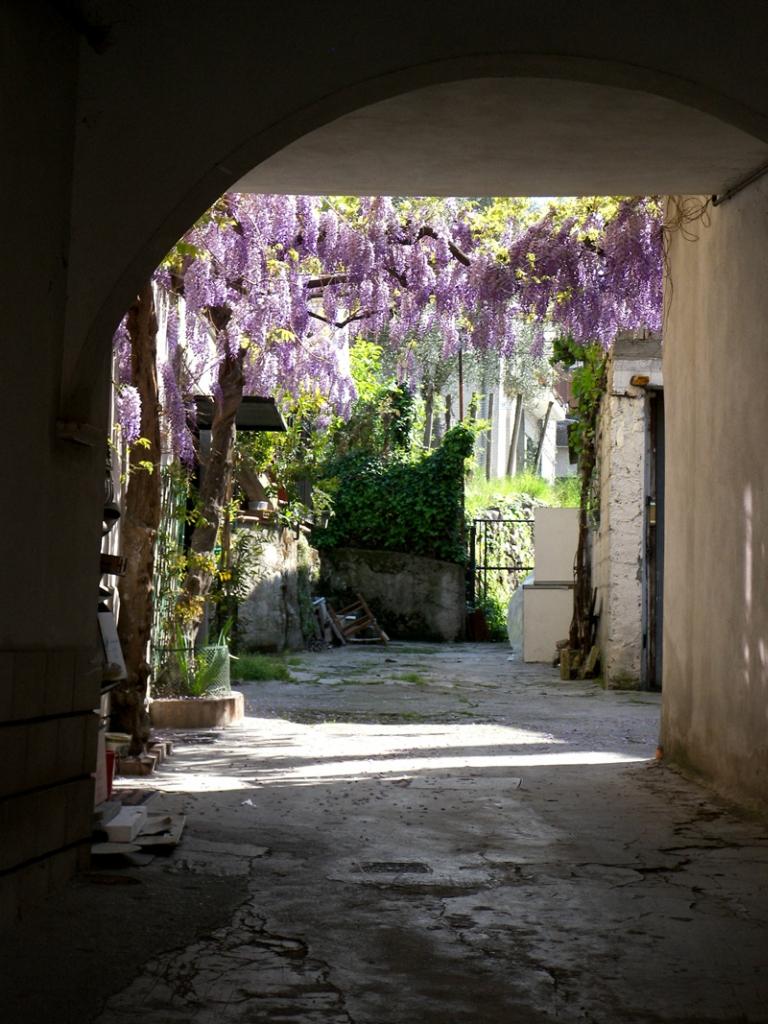 1558 «Виноградные» гроздья глицинии