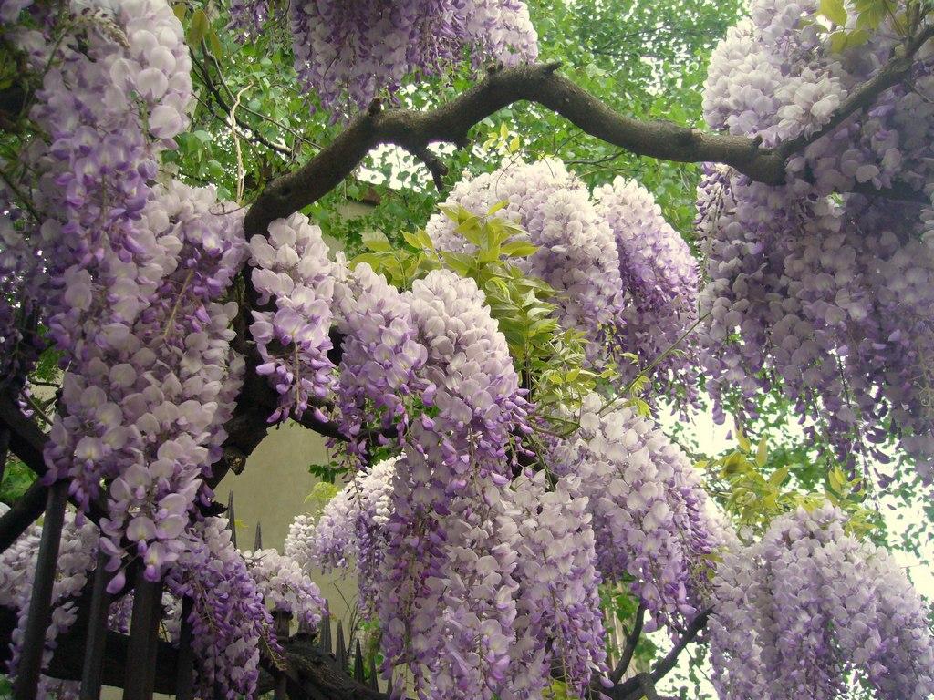 1653 «Виноградные» гроздья глицинии