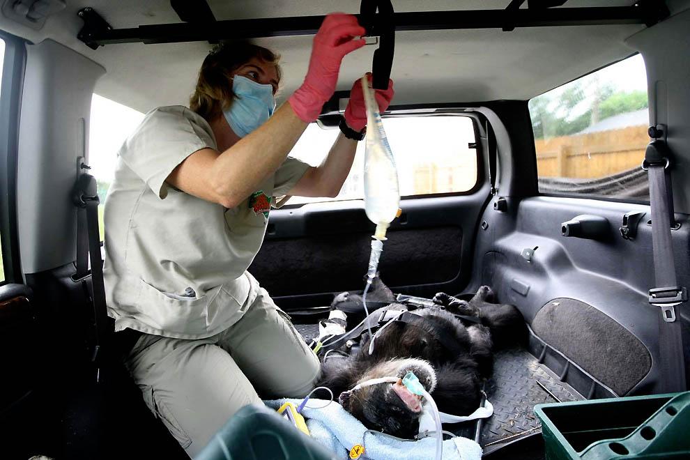 1773 73 летней самке шимпанзе провели операцию