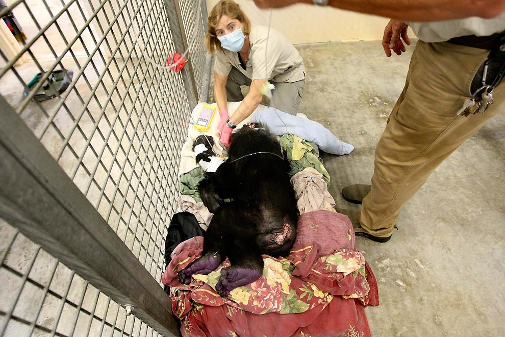 1867 73 летней самке шимпанзе провели операцию