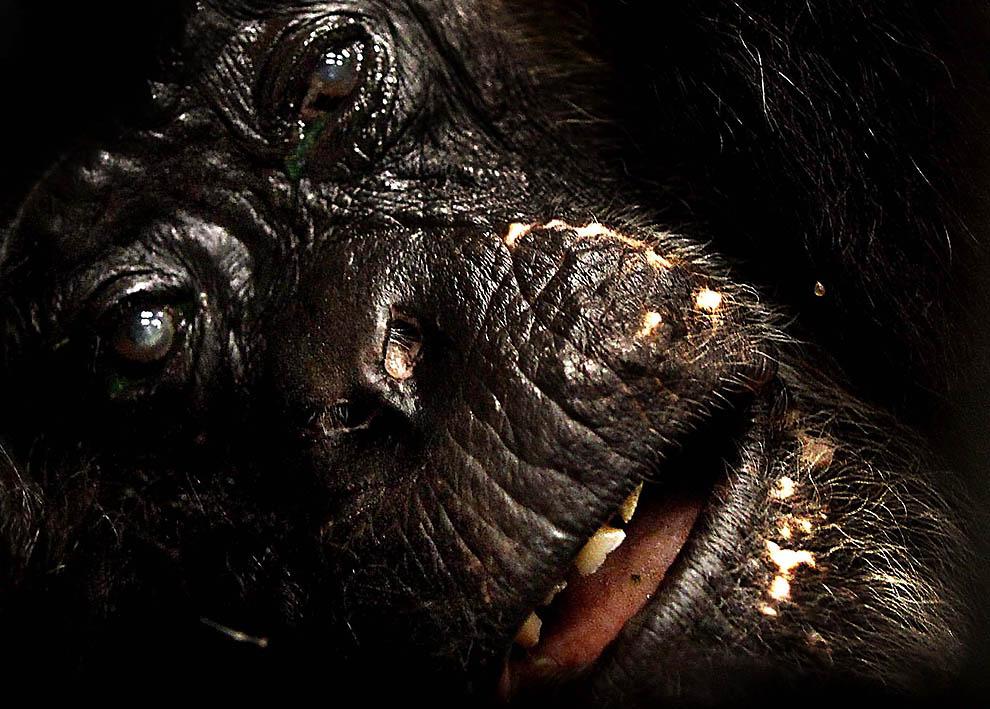 1965 73 летней самке шимпанзе провели операцию