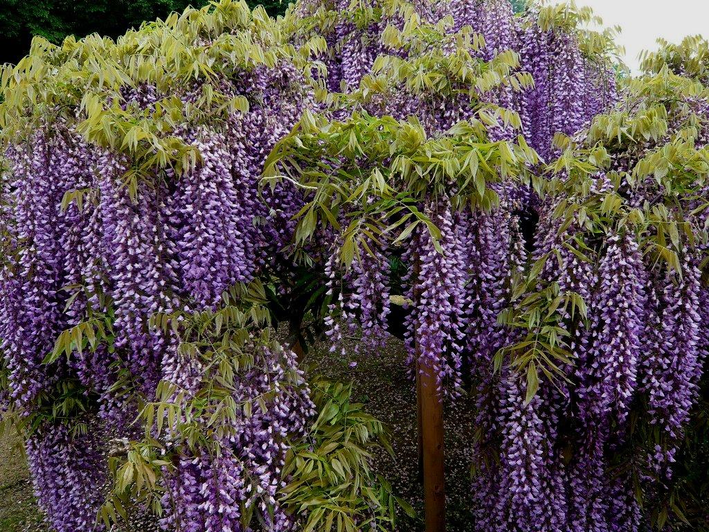 2184 «Виноградные» гроздья глицинии