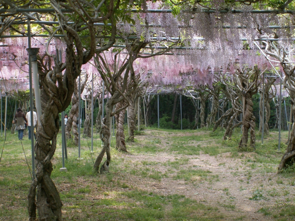 2336 «Виноградные» гроздья глицинии