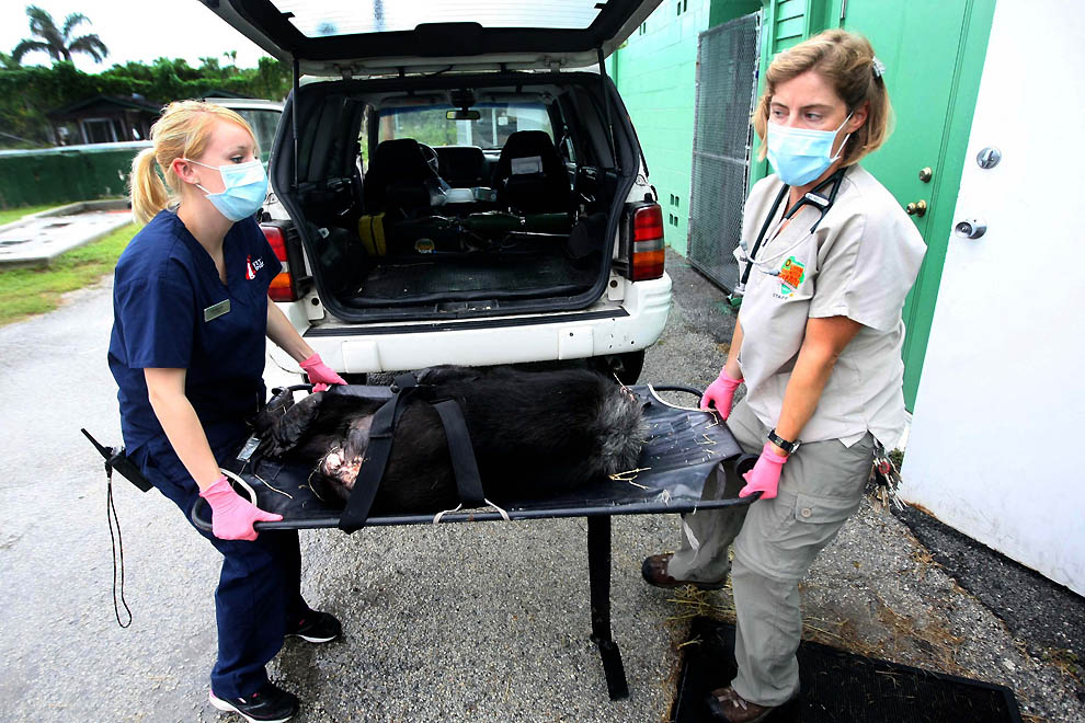 3194 73 летней самке шимпанзе провели операцию