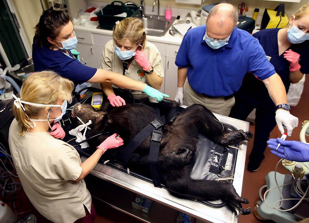 5142 73 летней самке шимпанзе провели операцию