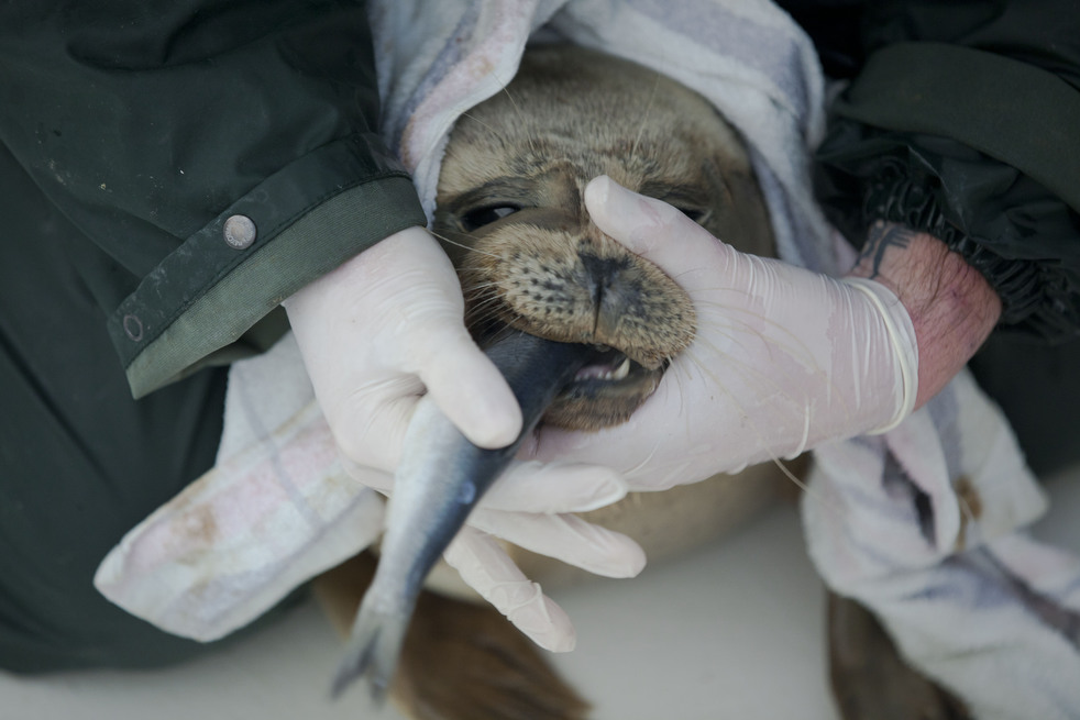 564 Детский дом для тюленей сирот в Голландии