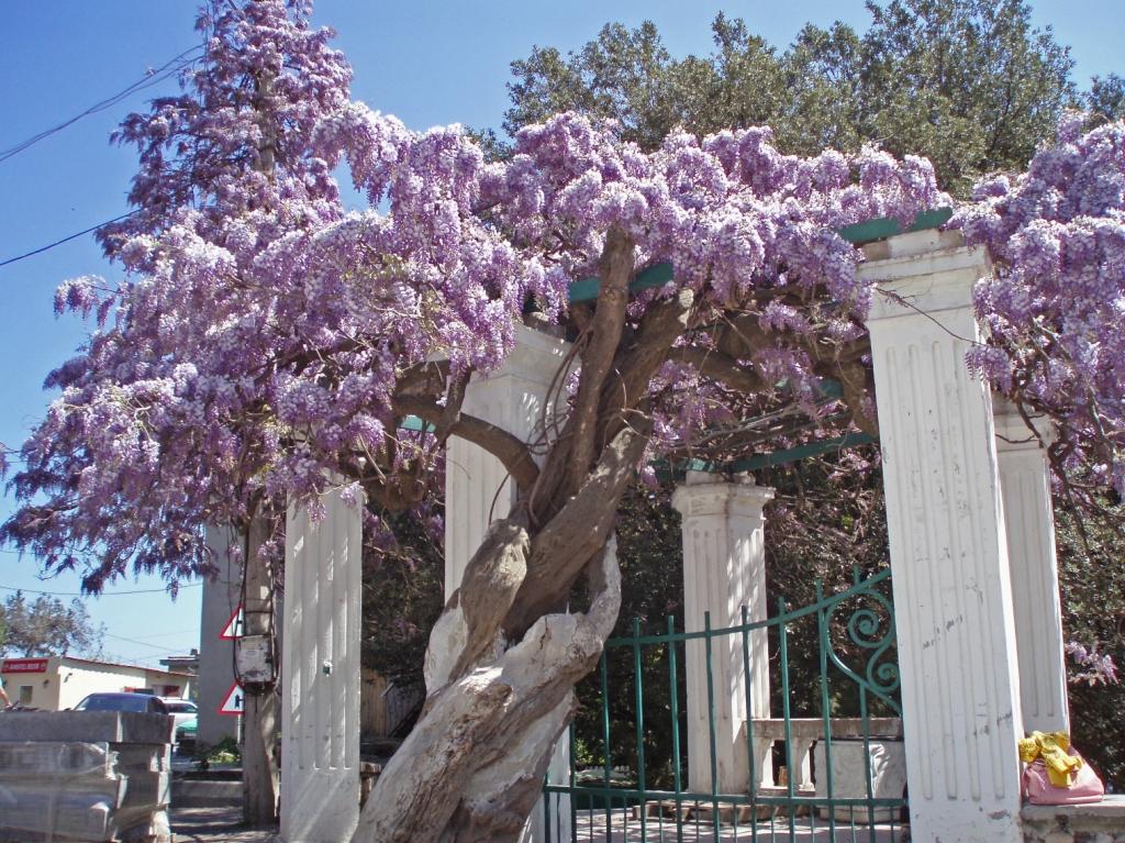 887 «Виноградные» гроздья глицинии