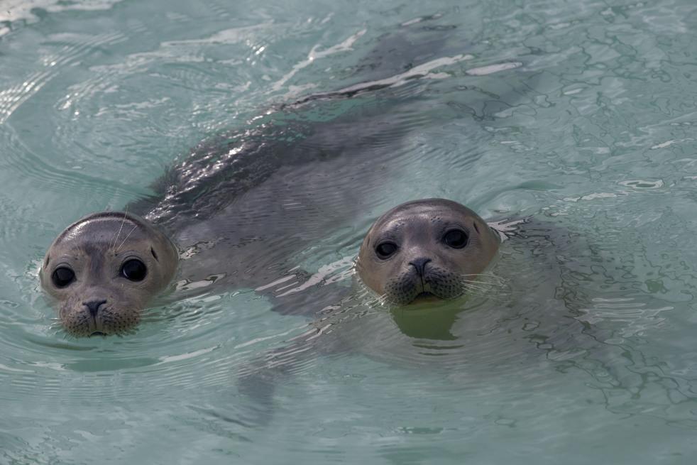 945 Детский дом для тюленей сирот в Голландии