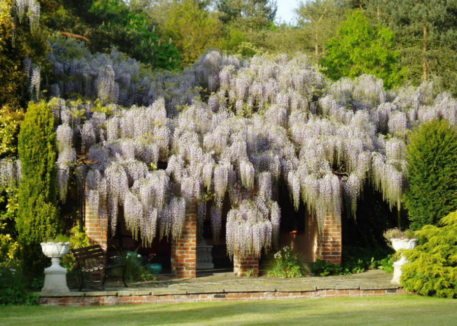 Глициния цветет большими свисающими гроздьями, которые издают сладковатый неповторимый аромат.