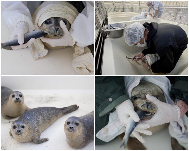 BIGPIC38 Детский дом для тюленей сирот в Голландии
