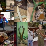 10 фактов про королевскую кобру