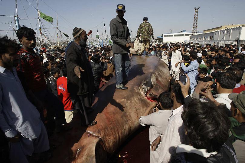 0207122 Мертвую китовую акулу, найденную у побережья Пакистана, продали за $19 тыс.