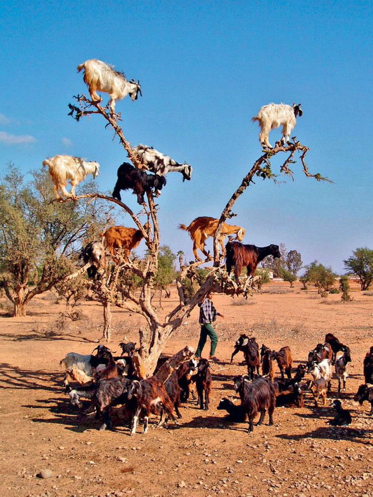 10117 Козы на деревьях в Марокко