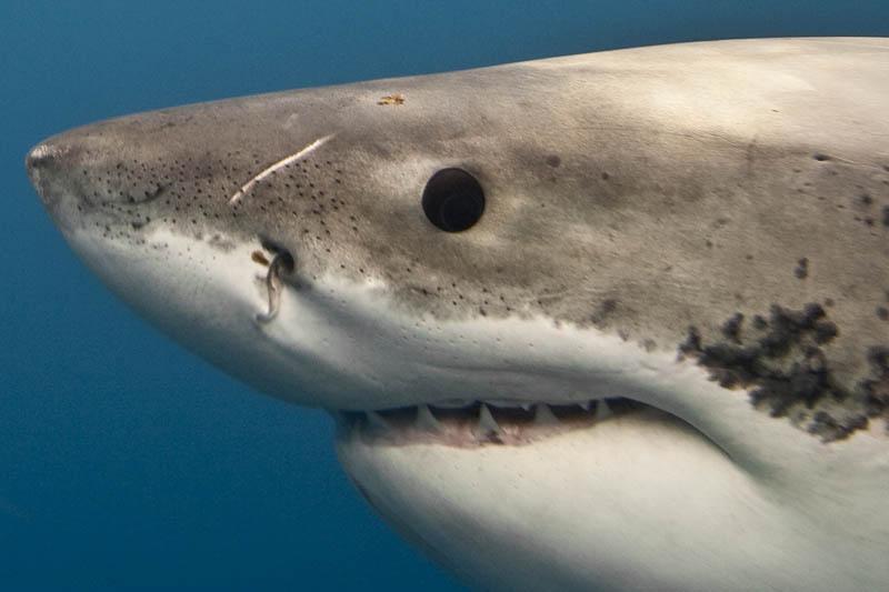 1033 Повелительница морей   большая белая акула