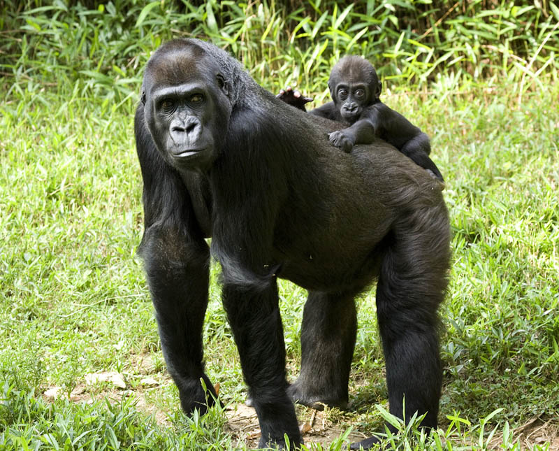 1037 Эти удивительные гориллы: фотофакты