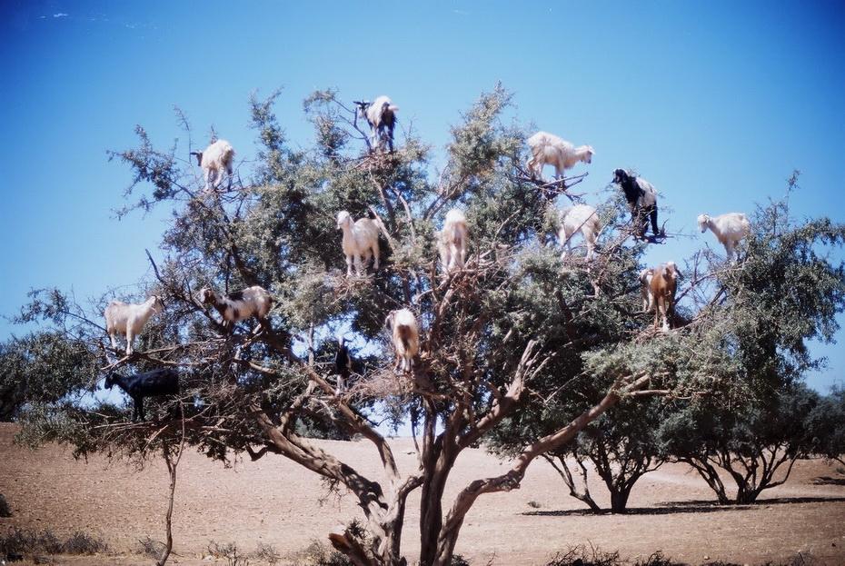 11152 Козы на деревьях в Марокко