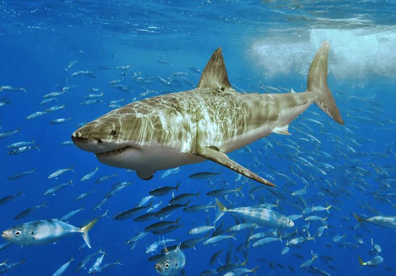 1144 Повелительница морей   большая белая акула