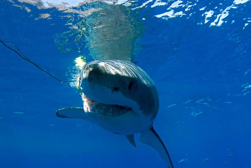 1145 Повелительница морей   большая белая акула