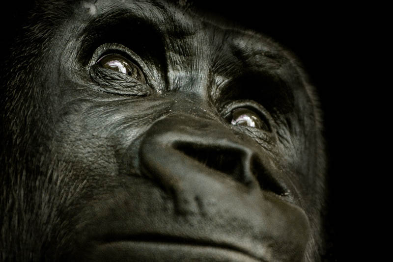 1152 Эти удивительные гориллы: фотофакты