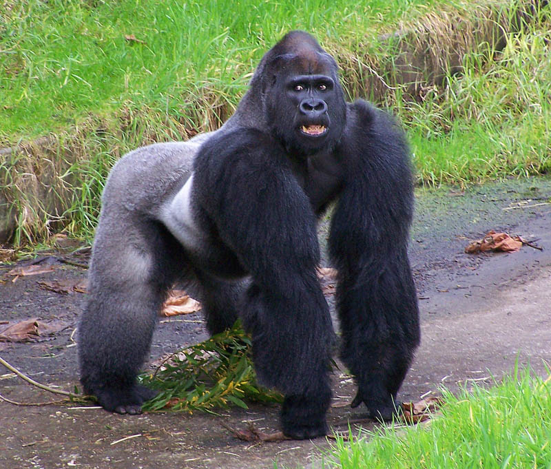 1153 Эти удивительные гориллы: фотофакты