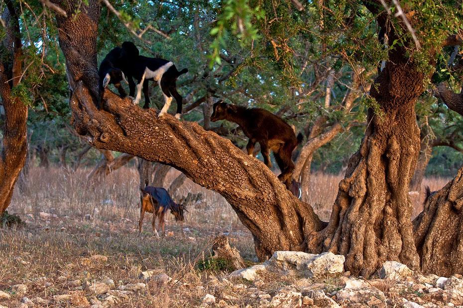 12125 Козы на деревьях в Марокко