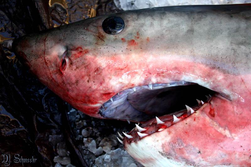 1233 Повелительница морей   большая белая акула