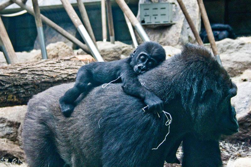 1237 Эти удивительные гориллы: фотофакты