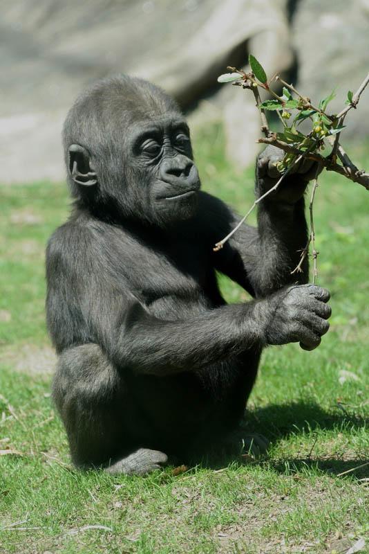 1336 Эти удивительные гориллы: фотофакты