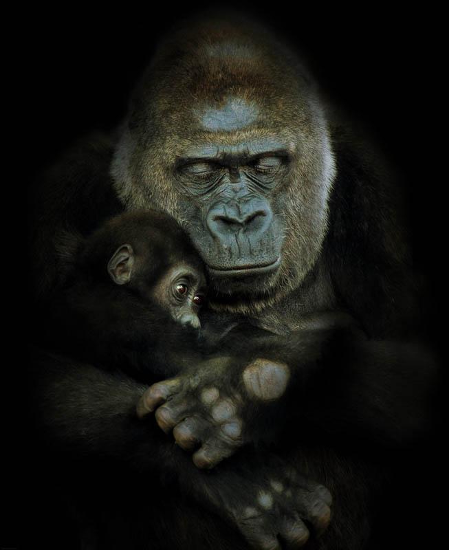 1434 Эти удивительные гориллы: фотофакты