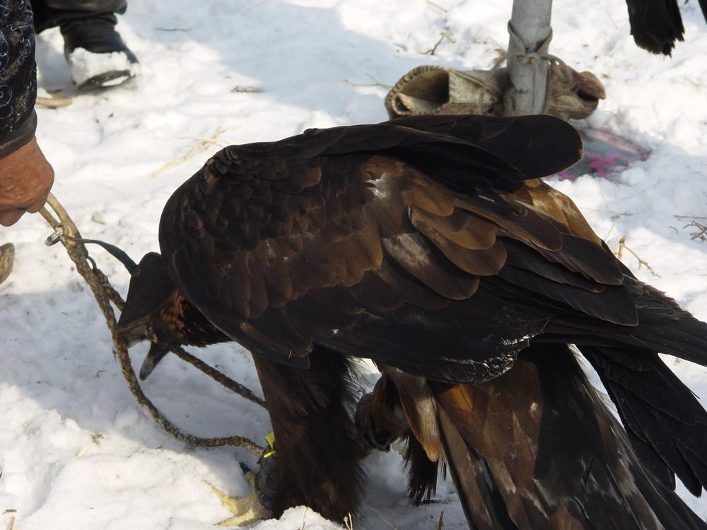 1470 Фоторепортаж с соревнований по охоте с ловчими птицами